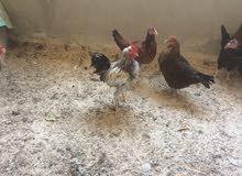 ديك بلدي وثلاثة دجاجات للبيع الديك شغال والدجاج بياض