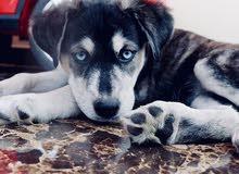 Husky/Golden puppy