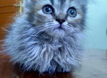 قطط شيرازي بعمر الشهرين و نصف للبيع(السعر قابل للتفاوض)