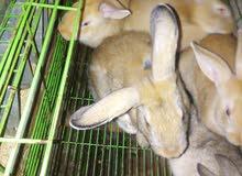 أرانب فطام عدد سبعة الكيلو 50 جنيه وزنهم فى حدود 12 كيلو
