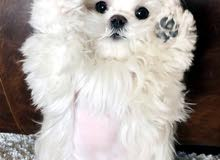 Malties puppy's pure breed for