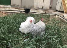 دجاج كوشن منتج