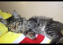 اسم القطة (جسكا) أنثى