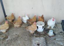 بيع دجاج كوشان