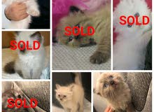Urgent Sale Himalayan kitten only 2 left