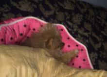 كلب البومرانين pomeranian