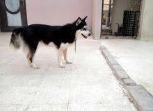 كلبة هاسكي عمر سنة