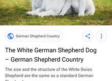 كلب جرمن شبيرد الابيض white German عمر شهرين للبيع ب 80الف اصل 770911335
