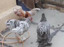 دجاجتين أبراهام وديجين بالوني ثعلبي