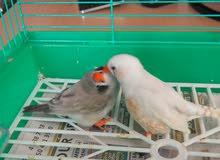 Beautiful Love birds couple for sale