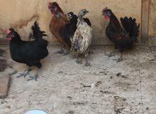 3 دجاج عربي  بياض فيهم  + ديكين تكويرة وحجم وفلة ذنب  الوان