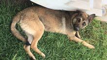 un chien berger allemand d'un an