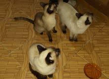 قطط2 سيميون