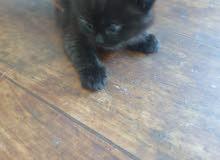 persian kitten 45 days old