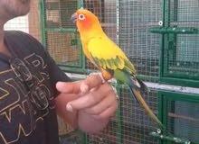 sunconur male parrot