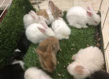 ارانب صغيره للبيع ، Little bunnies