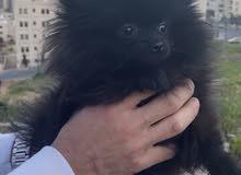 أنثى بوميرينيان بلاك ميني Pomeranian for sale