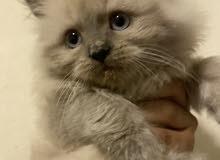 قطو هملايا