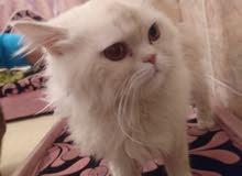 قط فارسي بيكي فيس عمره سنه ويتعامل مع البوكس