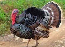 دجاج (رومي)للبيع