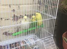 السلام عليكم للبيع طيور الحب كروان