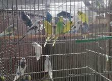 مخاليف طيور حب