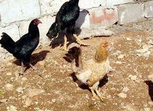 ست دجاجات وديك باكستاني حرات الماني للبيع المستعجل بسبب السفر