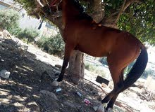 حصان عربي كفاله