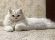 للبيع قط شيرازي اليف جدا وجميل