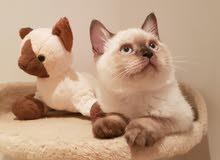 Scottish straight male kitten