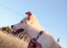 كلبه هاسكي عيون كرستال المنطقه مادبا