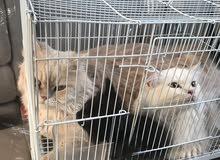 قطط للبيع النوع شيرازي ثلاث حبات
