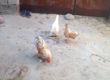 دجاج كوجن للبيع دجاجتين اوديج