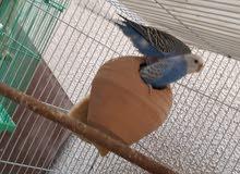 للبيع زوج طيور البادجي