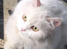 قط شيرازي نثيه رابع بطن قابله للتزاوج لعوبة