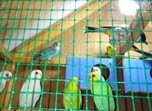 للبيع أو البديل بطيور بزيبرا أزواج