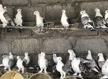 حمام حب الرمان للبيع او المبادله بطيور بادجي او اي طيور زينه