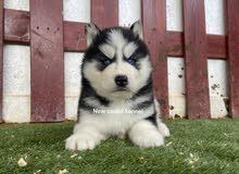 husky pure