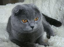 scottish fold male for breeding