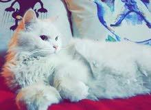 قطة للبيع بسعر مغري ماخدة مطاعيم وابر لمنع تساقط الشعر