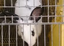 أرانب أنواع وأشكال للبيع 30 درهم للكيلو