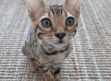 Bengal Kitten 4 months old