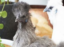Silkie hens for sale