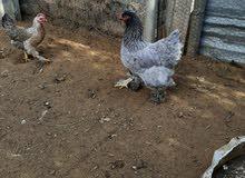 دجاجه برهما بلو