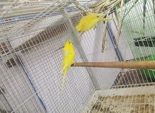 طيور هند هوقو لاتينو