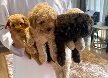 pure french poodle puppy