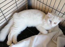 قطة شيرازية للبيع العمر خمسة أشهر اللون ابيض شيرازية اليفة