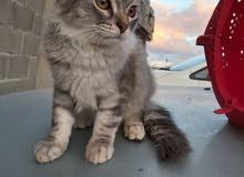 قطة فارسي للبيع