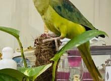 IRN parrot