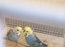 طيور بادجي للبيع مع القفص
